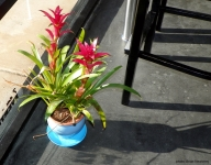 This lovely plant was taken at Espresso Cielo, Palm Springs, California, 2011